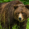 Grizzly Bear, Hyder, Alaska