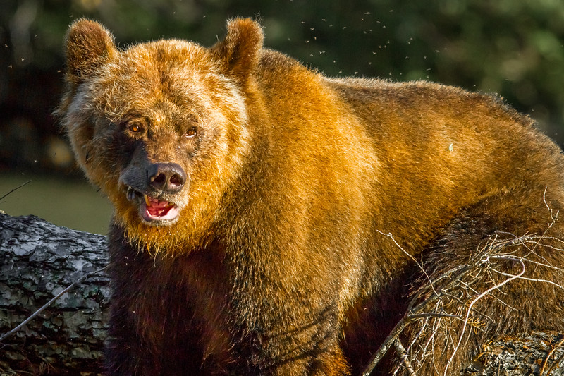 Grizzly Bear, Mussel Inlet, British Columbia