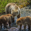 Grizzly Bear mother and cubs, Haines Road, Yukon