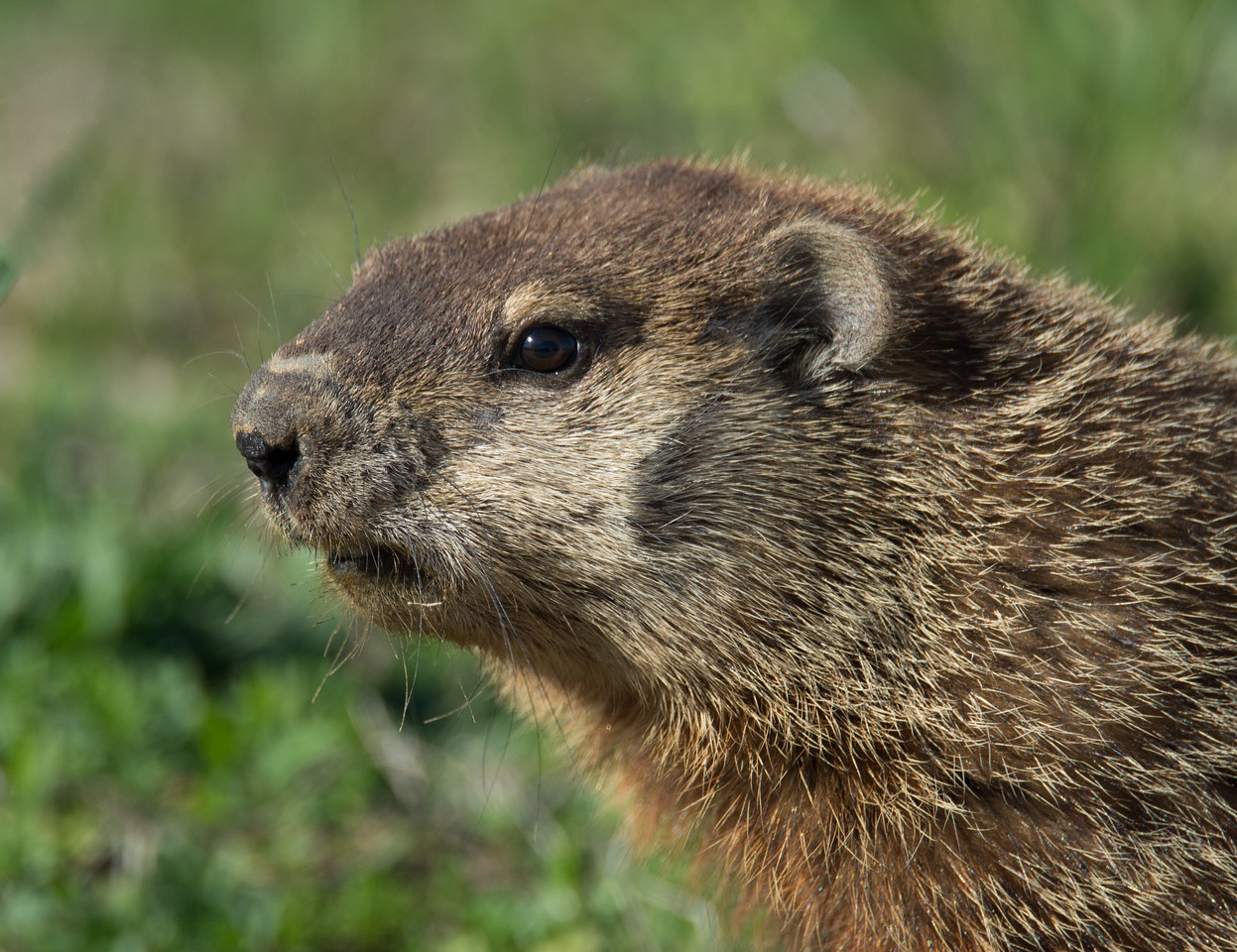 Closeup of groundhog