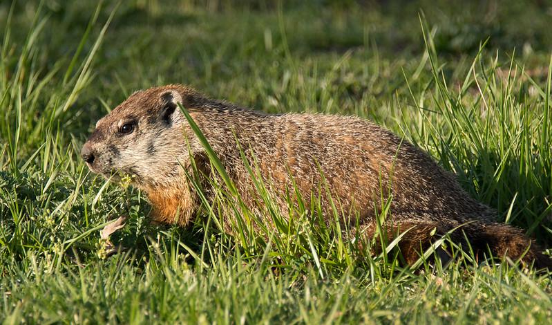 Groundhog at golden hour