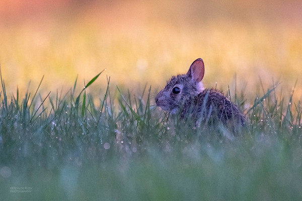 Eastern Cottontail, Burchard, NE, US, May 2018-1