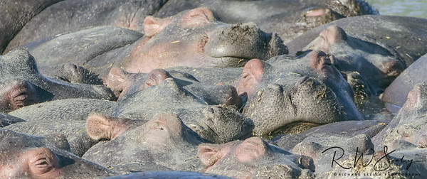 Hippos Float in Heavenly Harmony
