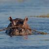 Hippopotamus, Eagle Island, Okavango Delta, Botswana, May 2017-2