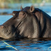 Hippopotamus, Eagle Island, Okavango Delta, Botswana, May 2017-4