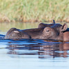 Hippopotamus, Eagle Island, Okavango Delta, Botswana, May 2017-6