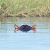 Hippopotamus, Eagle Island, Okavango Delta, Botswana, May 2017-1