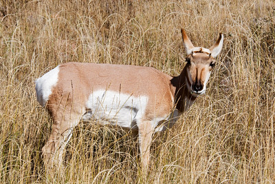 Pronghorn - Custer State Park - Black Hills, SD