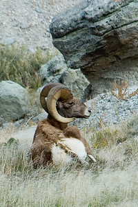 Bighorn Sheep - Badlands SD