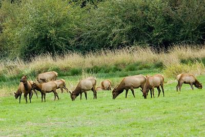 Elk - Reedsport, OR