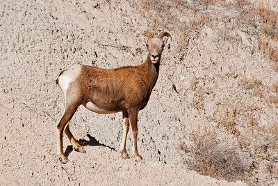 Bighorn Sheep - Badlands Nat'l Park - SD