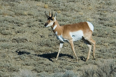 Pronghorn - male - Wyoming