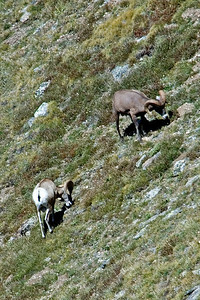 Bighorn Sheep - Rocky Mountain NP - CO