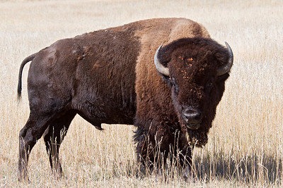 Bison - Custer State Park - Black Hills, SD