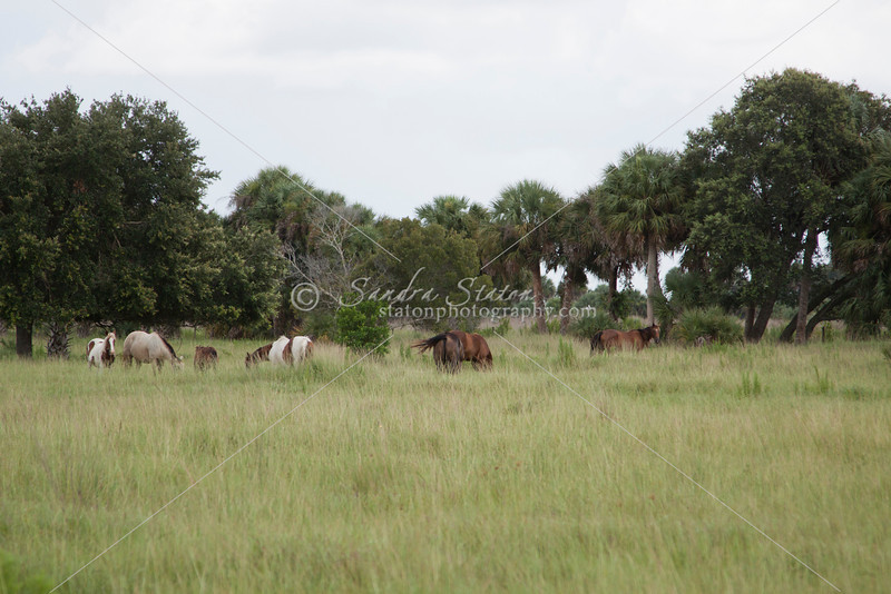 Horses in Pasture_SS7006