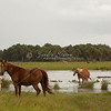 Horses in pond_SS7179