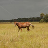 Horse in pasture_SS7126