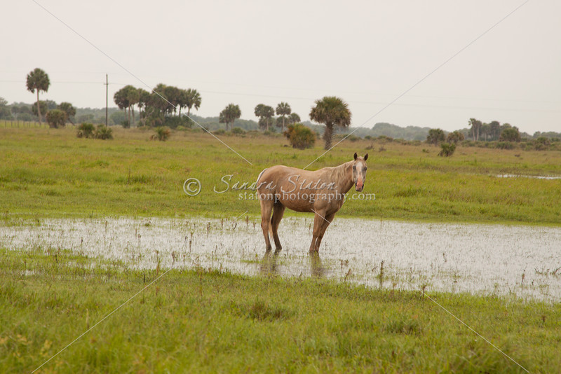 Horse standing in water_SS7229