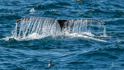 Humpback Whale Fluke Youngster