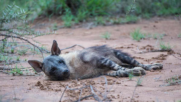 Brown Hyena, Pilansberg National Park, SA, Dec 2013-1