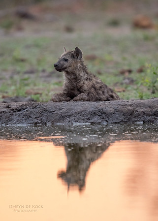 Spotted Hyena, Sabi Sands (EP), SA, Oct 2016-2