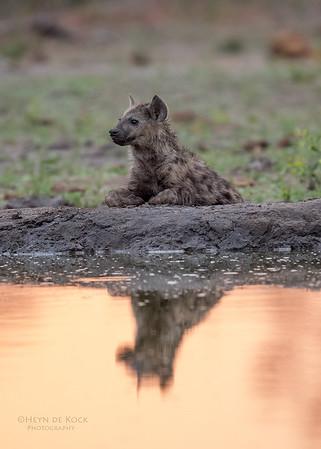 Spotted Hyena, Sabi Sands (EP), SA, Oct 2016-2