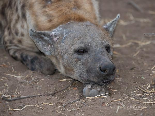 Spotted Hyena, Mashatu GR, Botswana, May 2017-3