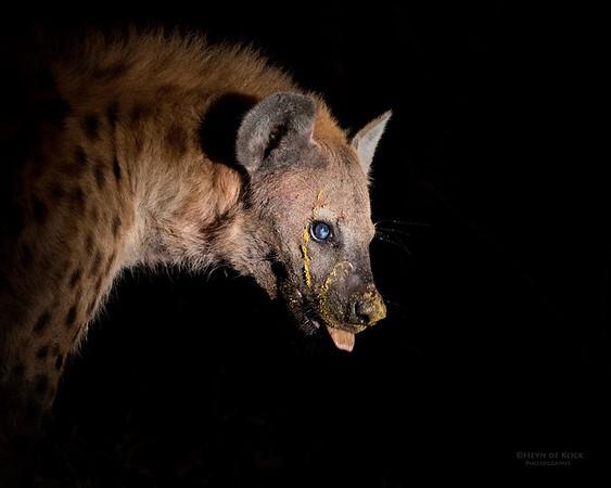 Spotted Hyena, Sabi Sands (EP), SA, Sept 2015