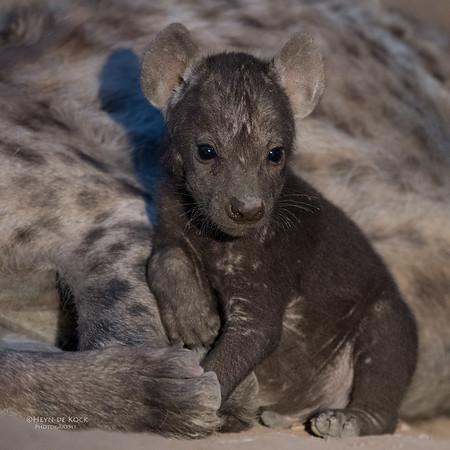 Spotted Hyena, Mashatu GR, Botswana, May 2017-6