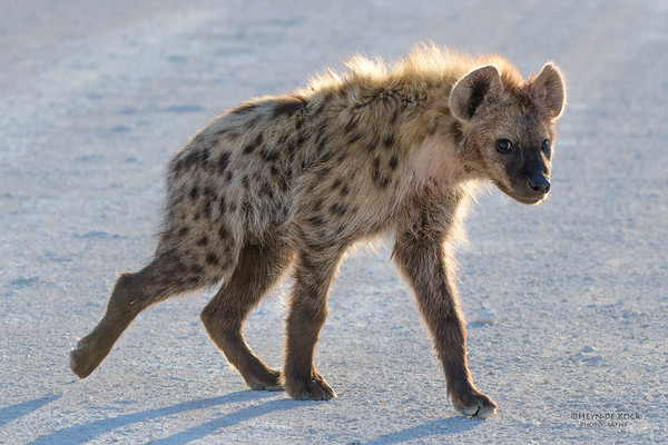 Spotted Hyena, Etosha NP, Namibia, July 2011