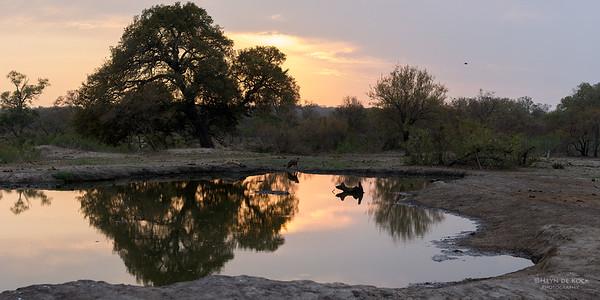 Spotted Hyena, Sabi Sands (EP), SA, Oct 2016-7