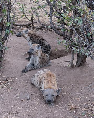 Spotted Hyena, Mashatu GR, Botswana, May 2017-8