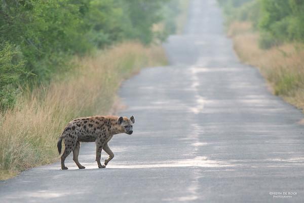 Spotted Hyena, Hluhluwe-Imfolozi NP, KZN, SA, Jan 2014