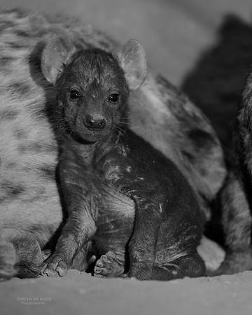 Spotted Hyena, b&w, Mashatu GR, Botswana, May 2017-2