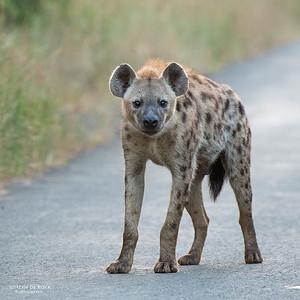 Spotted Hyena, Hluhluwe-Imfolozi NP, KZN, SA, Jan 2014-1