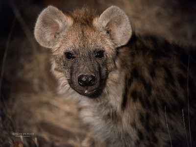 Spotted Hyena, Mashatu GR, Botswana, May 2017-1