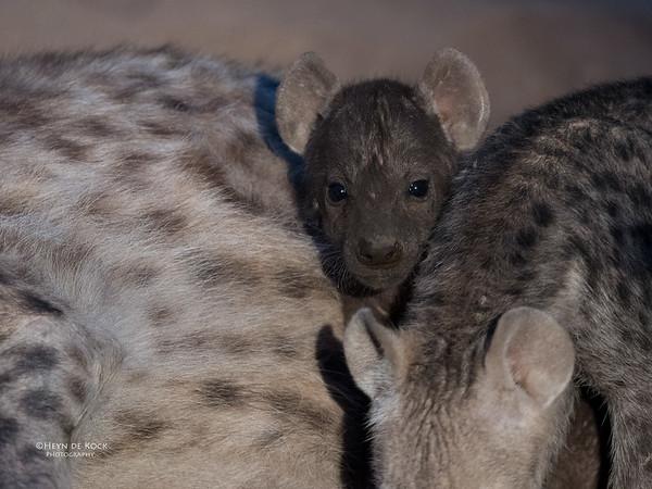 Spotted Hyena, Mashatu GR, Botswana, May 2017-5