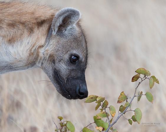 Spotted Hyena, Mashatu GR, Botswana, May 2017-4