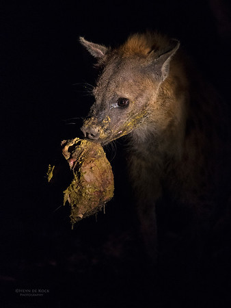 Spotted Hyena, Sabi Sands (EP), SA, Sept 2015-2