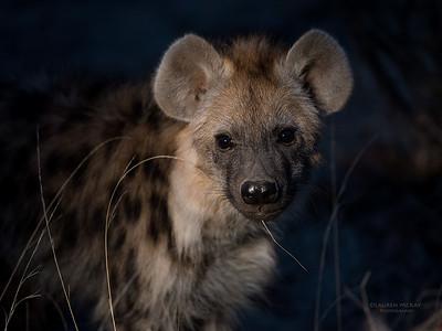 Spotted Hyena, Mashatu GR, Botswana, May 2017-2