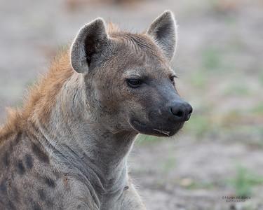 Spotted Hyena, Sabi Sands (EP), SA, Oct 2016-6