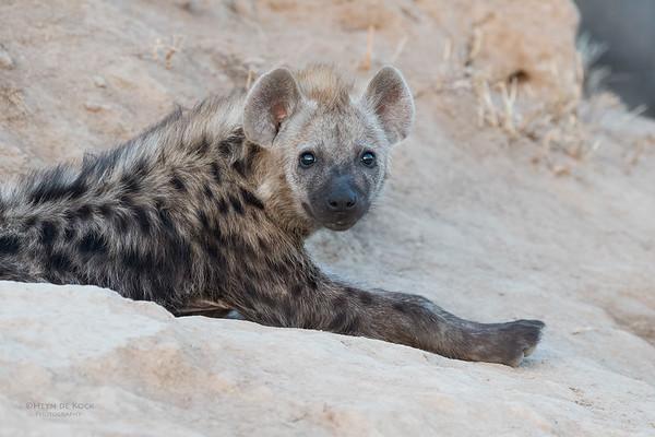 Spotted Hyena, Sabi Sands (EP), SA, Oct 2016-4