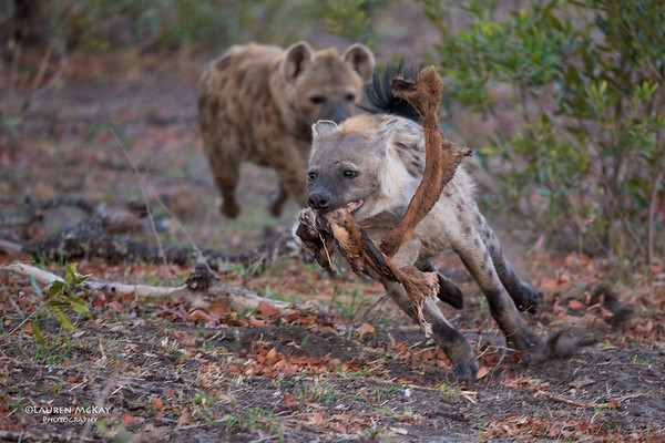 Spotted Hyena, Sabi Sands (EP), SA, Oct 2016-1