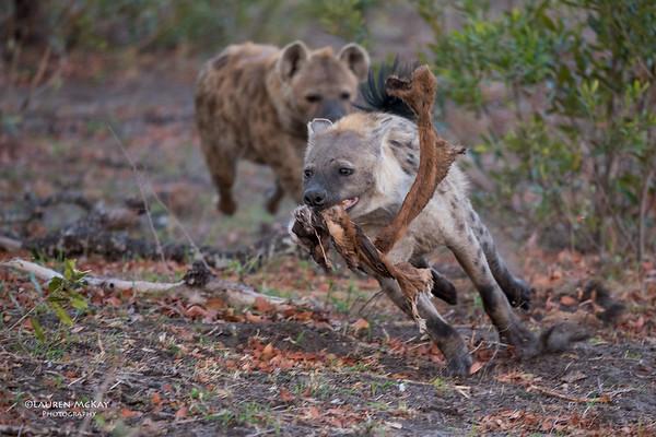 Spotted Hyena, Sabi Sands (EP), SA, Oct 2016-1
