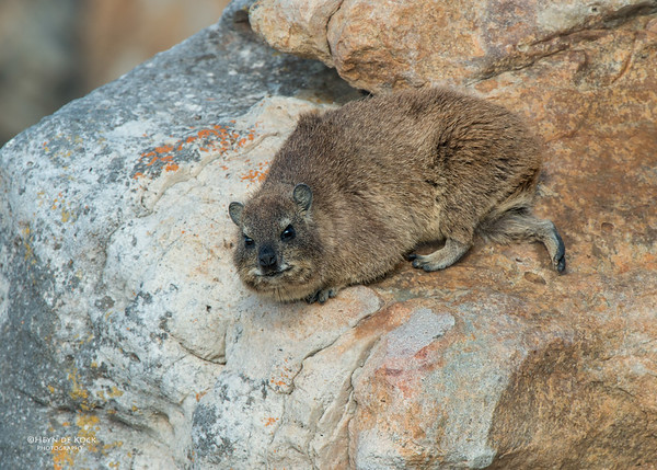 Rock Hyrax, Cape Point NP, SA, Jan 2014