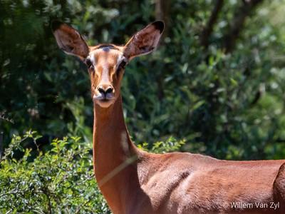 20190219 Impala (Aepyceros melampus) from Thabazimbi, Limpopo
