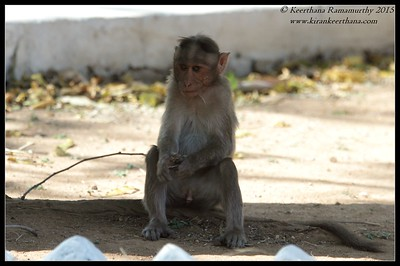 Bonnet Macaque, Bandipur, Karnataka, India, February 2015