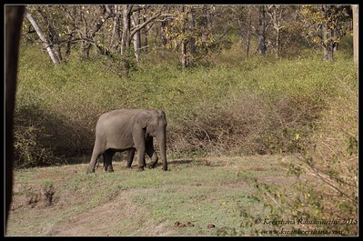 Asian Elephant, Bandipur, Karnataka, India, February 2015