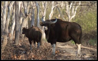 Gaur bull looking at our safari vehicles, Bandipur; Karnataka; February 2015