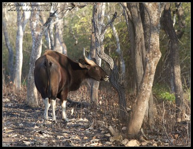 Gaur bull giving the okay for the calves to come, Bandipur; Karnataka; February 2015